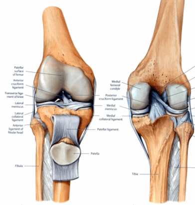 Knee anatomy displaying the ligaments surrounding the knee joint.